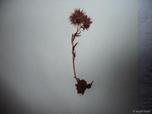 (15) Sempervivum montanum - Berg-Hauswurz