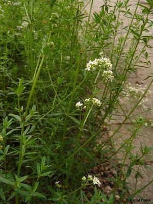 Galium boreale / Nordisches Labkraut (Botanischer Garten Universität Heidelberg)