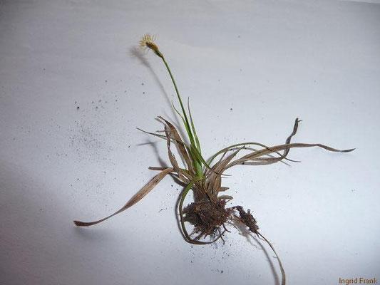 27.04.2013-Carex caryophyllea - Frühlings-Segge