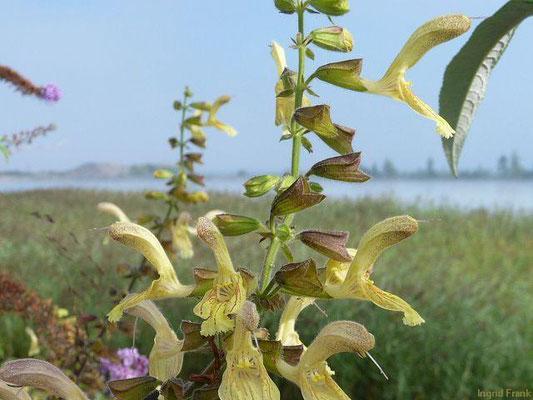 Salvia glutinosa / Klebriger Salbei    VII-X