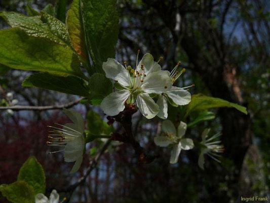 Prunus domestica - Pflaume, Zwetschge    IV