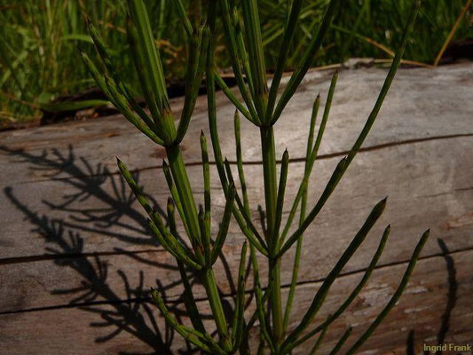 14.07.2012-Equisetum palustre - Sumpf-Schachtelhalm