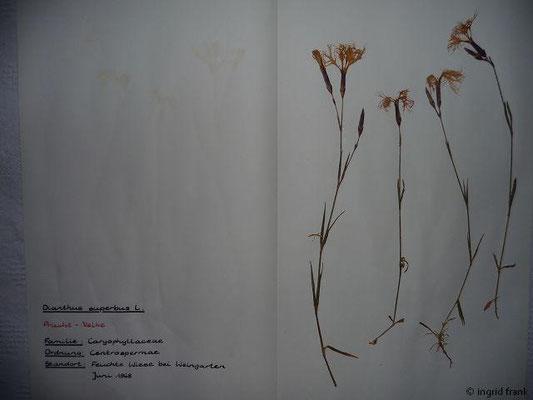 (76) Dianthus superbus - Pracht-Nelke