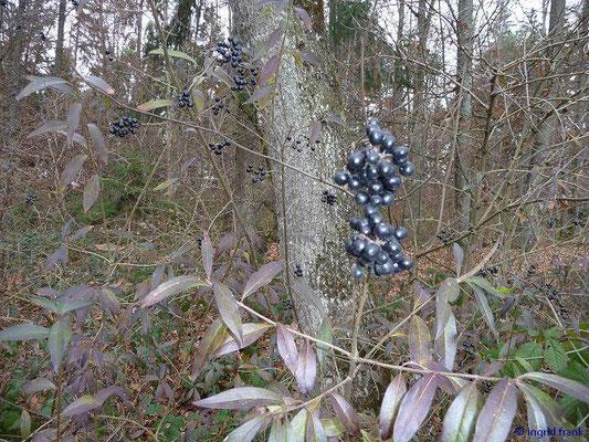 BEEREN GIFTIG:   Gewöhnlicher Liguster / Ligustrum vulgare   (22.11.2009)