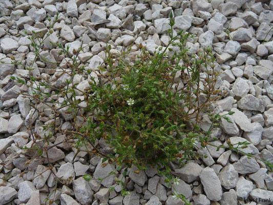 Arenaria serpyllifolia / Quendelblättriges Sandkraut