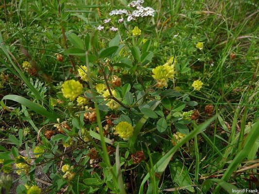 Trifolium campestre / Feld-Klee