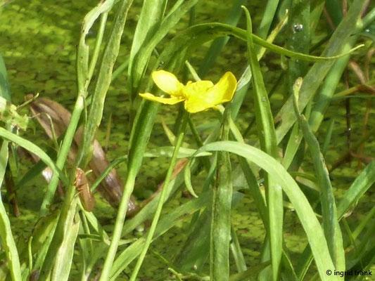 Ranunculus lingua - Zungen-Hahnenfuß