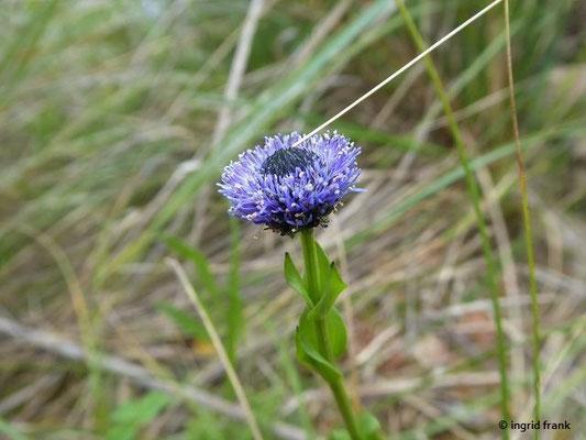 Globularia bisnagarica - Gewöhnliche Kugelblume
