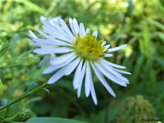 Symphyotrichum lanceolatum - Lanzettblättrige Herbstaster