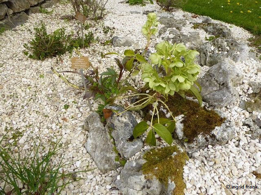 Helleborus argutifolius - Korsische Nieswurz    XI-IV