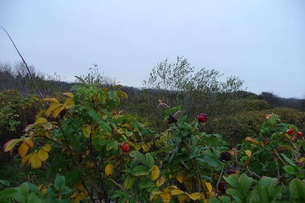 Rosa rugosa - Kartoffelrose (li.) und Lonicera periclymenum - Wald-Geißblatt (re.)
