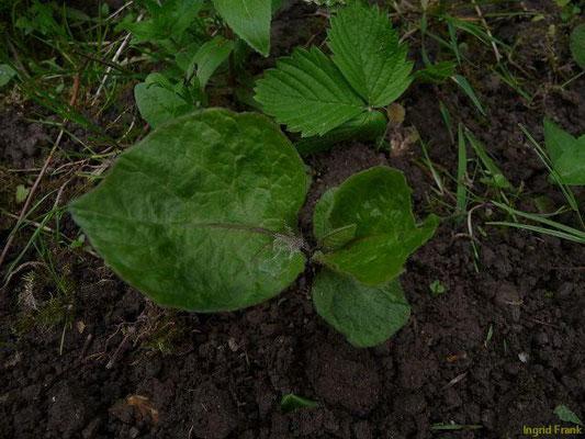 17.05.2010-Physalis alkekengi - Laternenpflanze, Gewöhnliche Blasenkirsche