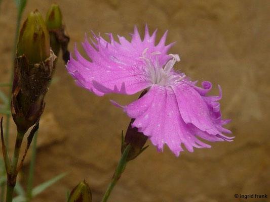 Dianthus gratianopolitanus - Pfingst-Nelke