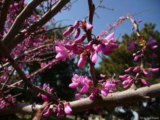 Cercis siliquastrum - Judasbaum (Türkische Ägäis)