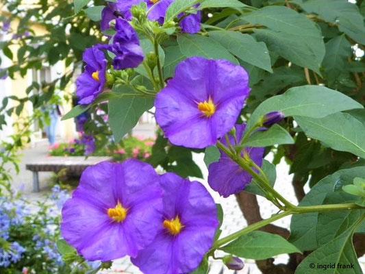 Lycianthes rantonnetii - Blauer Kartoffelstrauch, Blauer Enzianbaum