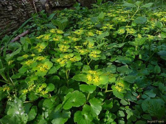 10.04.2011-Chrysosplenium alternifolium - Wechselblättriges Milzkraut