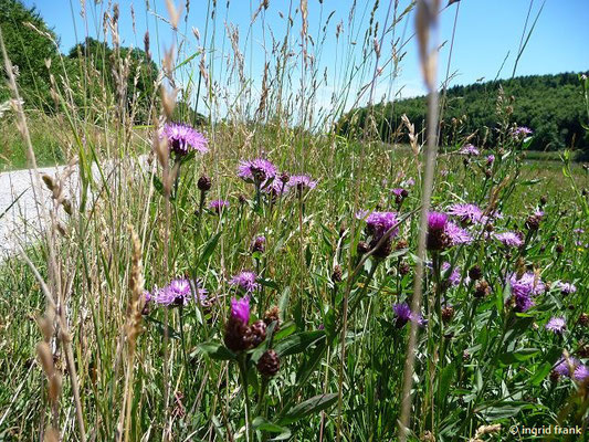 Centaurea jacea - Wiesen-Flockenblume