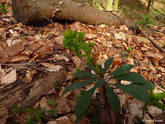 Mandelblättrige Wolfsmilch - Euphorbia amygdaloides