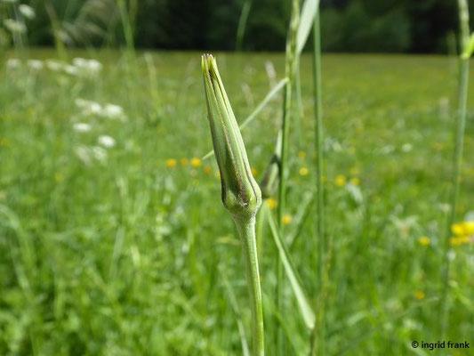 Tragopogon orientalis - Orientalischer Bocksbart