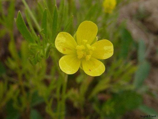 Ranunculus arvensis / Acker-Hahnenfuß    V-VII