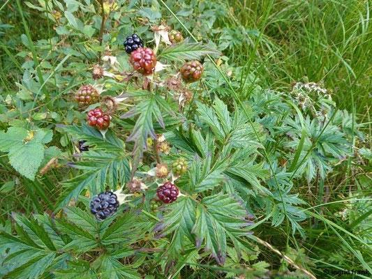 Rubus laciniatus - Zerschlitztblättrige Brombeere