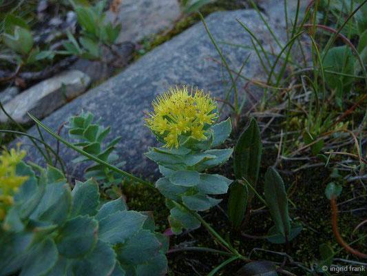 Rhodiola rosea - Rosenwurz (Nordnorwegen)