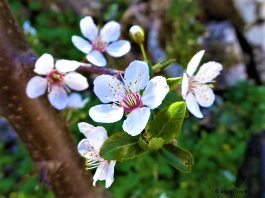 Wer kennt diesen Obstbaum (Rosengewächs)?