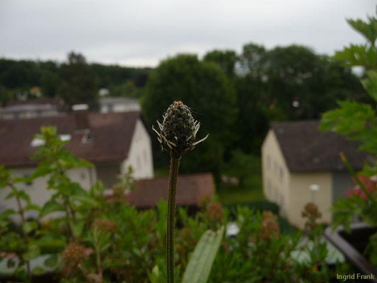 09.06.2013-Plantago lanceolata - Spitz-Wegerich