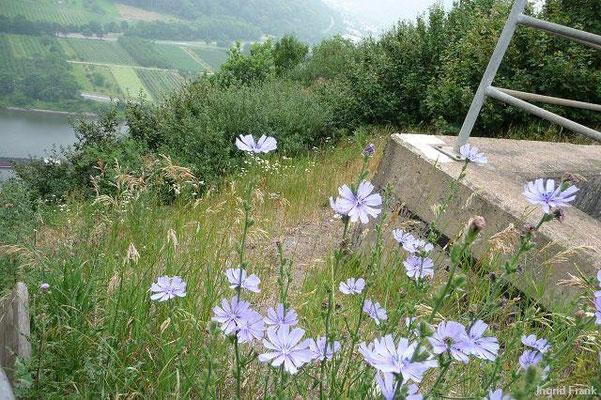 04.07.2010-Cichorium intybus - Gewöhnliche Wegwarte, Zichorie