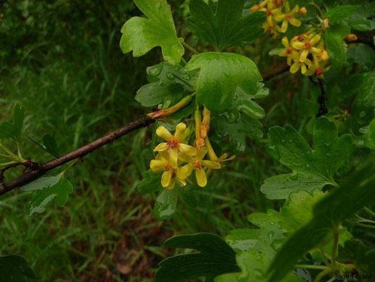 Ribes aureum - Gold-Johannisbeere