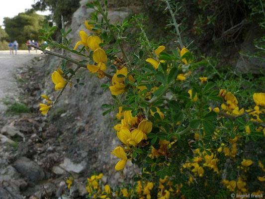 Calicotome villosa - Behaarter Dornginster