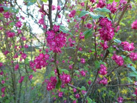 Ribes sanguineum - Blut-Johannisbeere