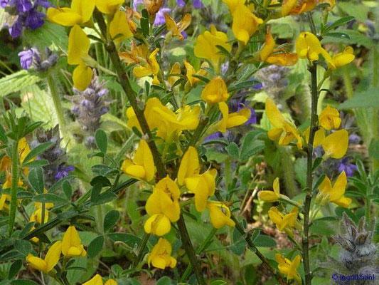 Genista pilosa / Haar-Ginster ( Botanischer Garten Berlin)