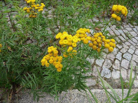 Tanacetum vulgare / Rainfarn     VII-IX