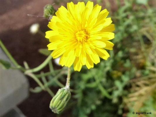 Sonchus tenerrimus - Zarte Gänsedistel