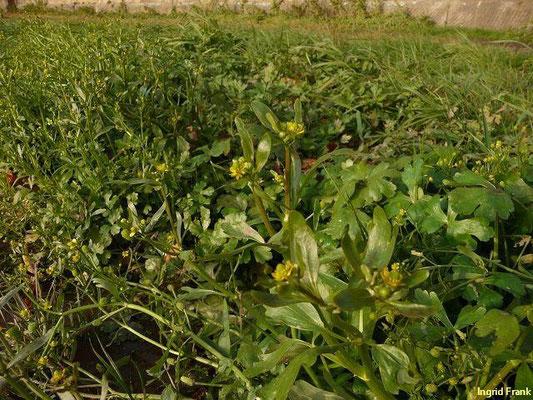 Ranunculus sceleratus - Gift-Hahnenfuß