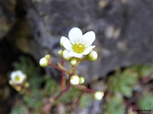 Saxifraga paniculata - Trauben-Steinbrech    VI-VII    (Botanischer Garten Universität Würzburg)