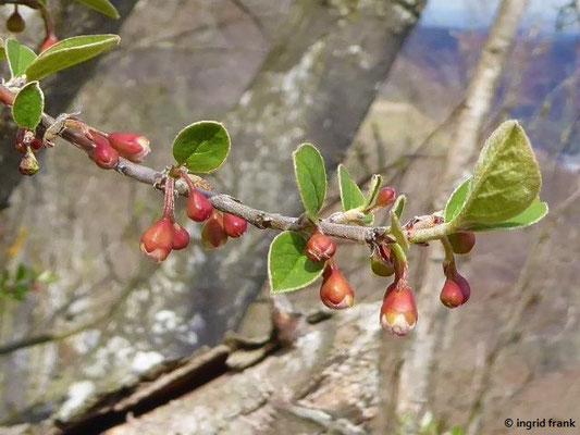 Cotoneaster integerrimus - Gewöhnliche Zwergmispel    IV-V