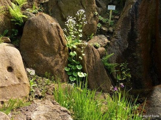 Saxifraga rotundifolia - Rundblättriger Steinbrech    VI-IX    (Botanischer Garten Berlin)