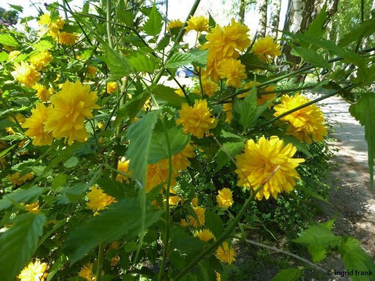 Kerria japonica - Japanisches Goldröschen