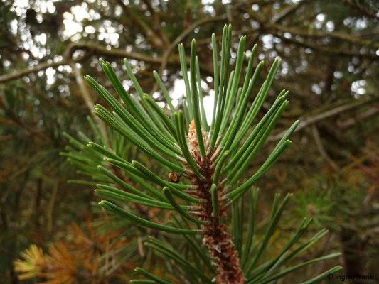 Pinus mugo ssp. mugo / Latschen-Kiefer, Leg-Föhre