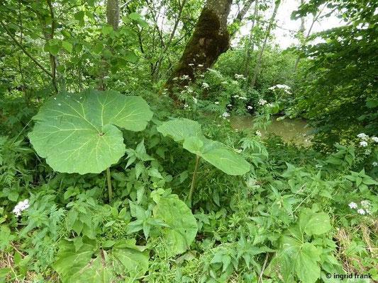 Blätter der Gewöhnlichen Pestwurz (Petasites hybridus) und Gold-Kälberkropf (Chaerophyllum aureum)