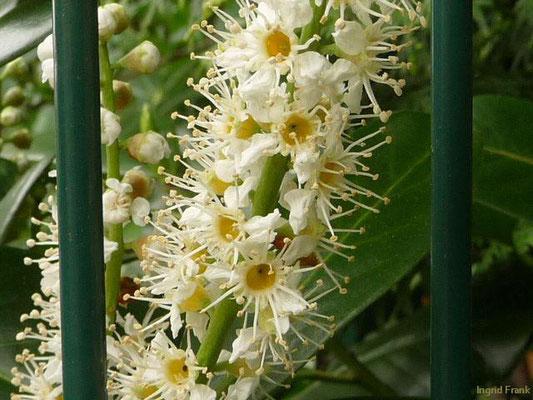 Prunus laurocerasus - Kirschlorbeer    IV-V