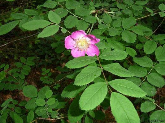 08.06.2010-Rosa pendulina - Alpen-Hecken-Rose