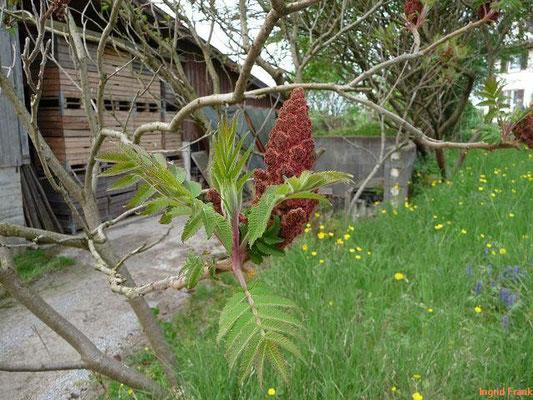 24.04.2012-Rhus typhina - Essigbaum, Kolben-Sumach