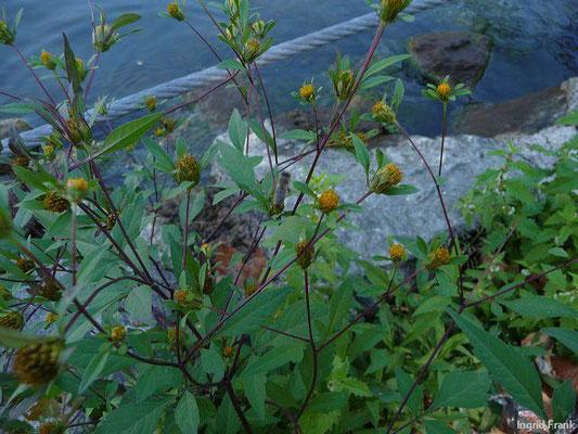 Bidens frondosus - Schwarzfrüchtiger Zweizahn