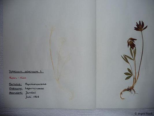(35) Trifolium alpinum - Alpen-Klee