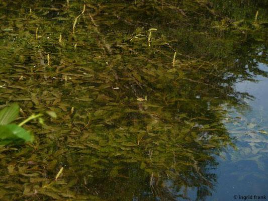 Polygonum amphibium / Sumpf-Knöterich