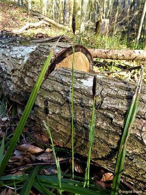 Carex pilosum - Wimper-Segge