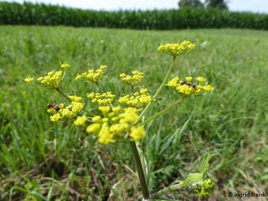 Pastinaca sativa ssp. sativa / Gewöhnlicher Pastinak
